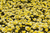 Patch of Yellow Daisies — Stock Photo