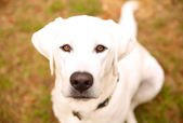 White labrador retriever — Foto Stock