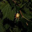 Stock Photo: Black and Yellow Garden Spider