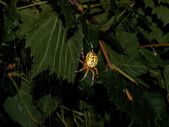 Black and Yellow Garden Spider — Stock Photo