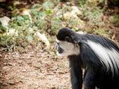 Colobus Monkey on Safari, Kenya, Africa — Stock Photo
