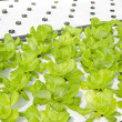 Hydroponic vegetable farm — Stock Photo
