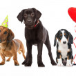 Three puppies celebrating a birthday — Stock Photo