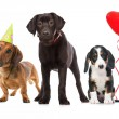 Three puppies celebrating a birthday — Stockfoto