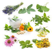 Collection of fresh medicinal herb — Stock Photo