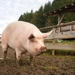 Pig on a farm — Stock Photo