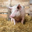 Pig on hay and straw — Stock Photo #37525613