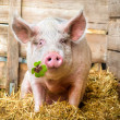 Lucky Pig — Stock Photo #37525639