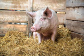 Pig on hay and straw — Stock Photo
