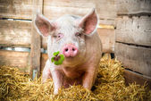 Lucky Pig — Stock Photo