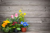 Spring flowers in pots on wooden background — Stock Photo