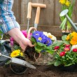 Gardener planting flowers — Stock Photo #42179969