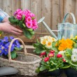 Gardener planting flowers — Stock Photo