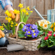 Gardener planting flowers — Stock Photo