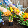 Gardener planting flowers — Stock Photo #42796381