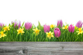Spring tulips and daffodils — Stock Photo
