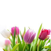 Spring tulips flowers — Stock Photo
