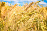 Grainfield — Stock Photo