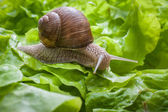 Helix pomatia, Burgundy snail — Stock Photo