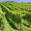 Hilly vineyard, Stuttgart — Stock Photo