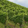 Hilly vineyard #1, Stuttgart — Stock Photo