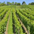 Hilly vineyard #8, Stuttgart — Stock Photo