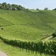 Vineyard landscape #3, Stuttgart — Stock Photo