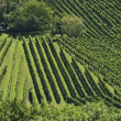 Foto Stock: Hilly vineyard #11, Stuttgart