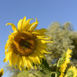 Sunflowers in the holy valley 01, Rieti — Stock Photo