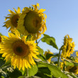 Sunflowers in the holy valley 03, Rieti — Foto de Stock