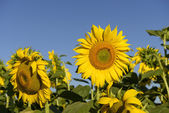 Sunflowers in the holy valley 02, Rieti — Stock Photo
