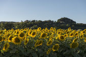Sunflowers fields in the holy valley 09, Rieti — Stock Photo