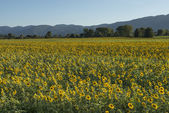 Sunflowers fields in the holy valley 12, Rieti — Stock Photo