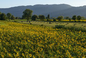 Sunflowers fields in the holy valley18, Rieti — Stock Photo
