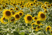 Sunflowers in the holy valley 20, Rieti — Stock Photo