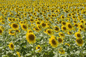 Sunflowers in the holy valley 09, Rieti — Stock Photo