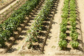 Vegetables in rows in orchard at La Foresta Franciscan monastery — Stock Photo