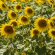 Sunflowers in the  holy valley 18, Rieti — Stock Photo