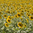 Sunflowers in the holy valley 07, Rieti — Stock Photo