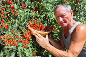 Man picking cherry tomato — Stock Photo