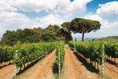 Rows of Grape Vines in Tuscany Vineyard, Italy — Stock Photo