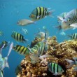 Tropical fish, red sein Sharm el Sheikh — Stock Photo #12080579