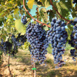 Tuscany wine grapes - Stock Photo