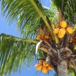 Coconut, coco palm tree — Stock Photo #12084057