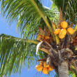 Stock Photo: Coconut, coco palm tree