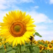 Sunflower backgroung — Stock Photo