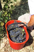 Wine grape during the grape harvest — Stock Photo