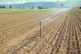 Irrigation of vegetable field — Stock Photo