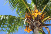 Coconut, coco palm tree — Stock Photo