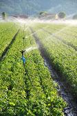 Irrigation on farm field — Stock Photo